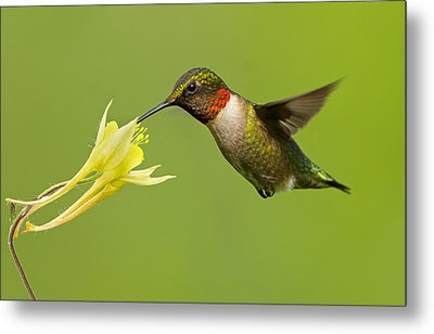 Hummingbird Metal Print by Mircea Costina Photography