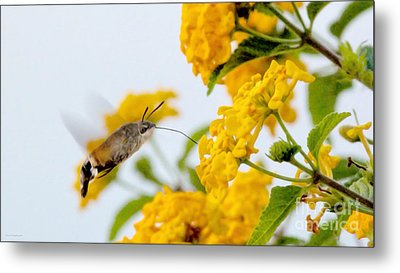 Hummingbird Moth Metal Print by Jason Christopher