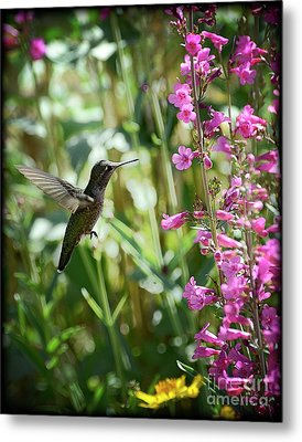 Hummingbird On Perry's Penstemon Metal Print