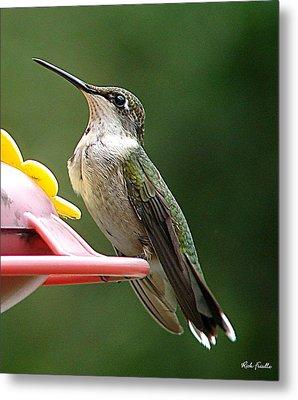 Hummingbird Metal Print by Rick Friedle