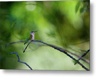 Metal Print featuring the photograph Hummingbird Sticks Out Tongue by Jane Melgaard