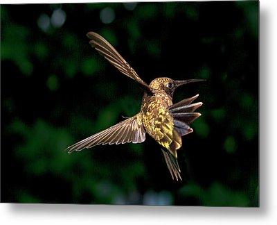 Hummingbird Taking Off Metal Print