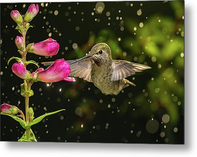 Metal Print featuring the photograph Hummingbird Visits Flowers In Raining Day by William Lee