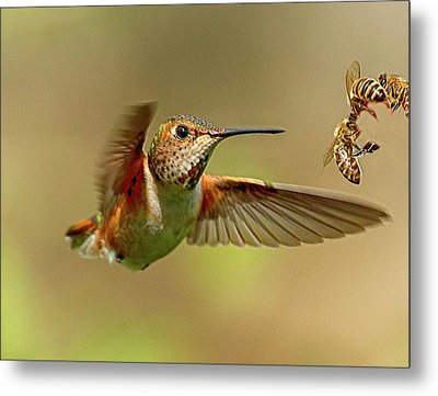 Hummingbird Vs. Bees Metal Print by Sheldon Bilsker