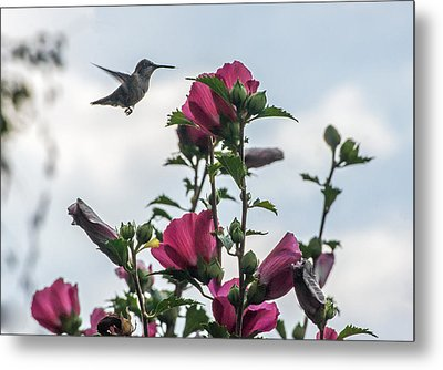 Hummingbird With Rose Of Sharon Metal Print by Photographic Arts And Design Studio