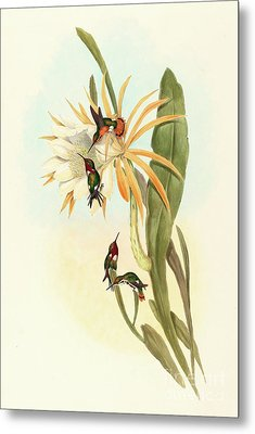 Hummingbirds, Calothorax Heliodori Metal Print by John Gould
