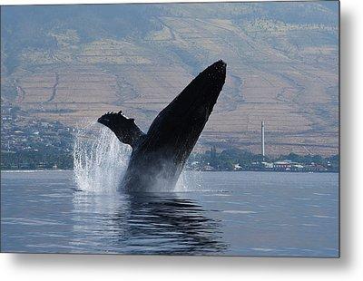 Humpback Whale Breach Metal Print by Jennifer Ancker