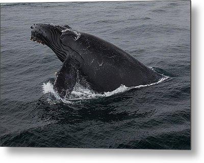 Humpback Whale Breach Metal Print by Tory Kallman