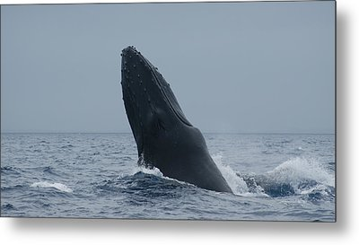 Metal Print featuring the photograph Humpback Whale Breaching by Gary Crockett