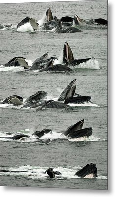 Humpback Whale Bubble-net Feeding Sequence X5 V2 Metal Print