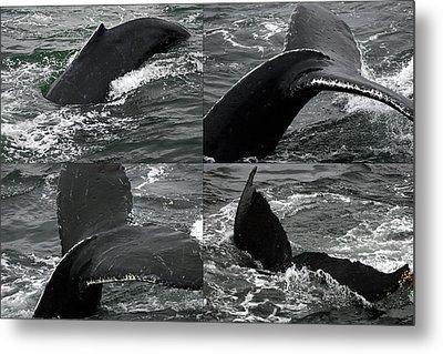 Humpback Whale Fluke Montage Metal Print by Robert Shard