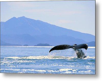 Humpback Whale Flukes Metal Print by John Hyde - Printscapes