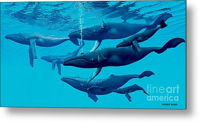 Humpback Whale Group Metal Print by Corey Ford