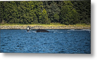 Humpback Whale Metal Print by Robin Williams