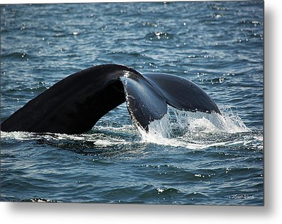 Humpback Whale Tail Cape Cod Massachusetts Metal Print by Michelle Wiarda