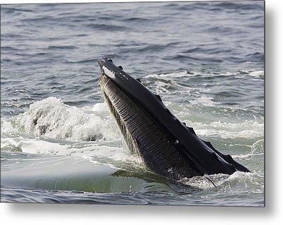 Humpback Whales Megaptera Novaeangliae Metal Print by Tim Laman