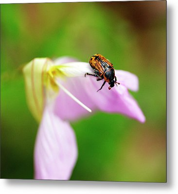 Hungry Beetle Metal Print by Bill Morgenstern