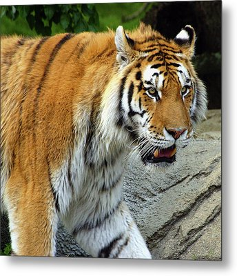 Hungry Cat Metal Print by Gordon Dean II