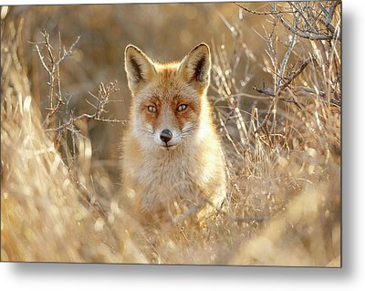 Hungry Eyes - Red Fox In The Bushes Metal Print by Roeselien Raimond