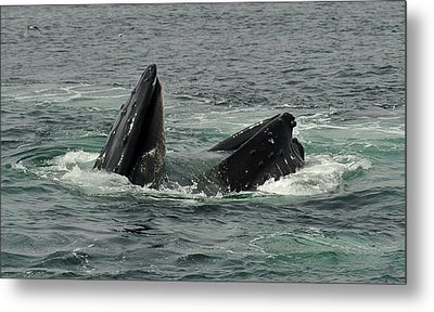 Hungry Humpback Metal Print by Rick Frost