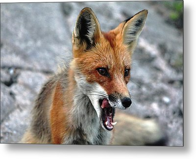 Hungry Red Fox Portrait Metal Print by Debbie Oppermann