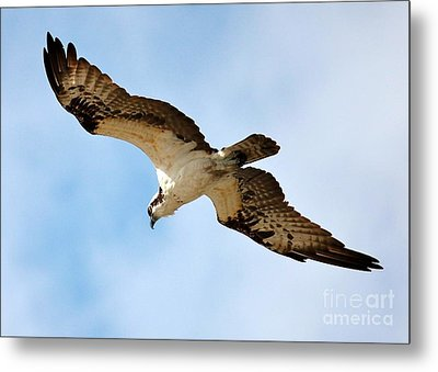Hunter Osprey Metal Print by Carol Groenen