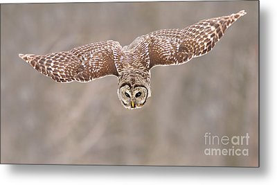 Hunting Barred Owl  Metal Print by Mircea Costina Photography