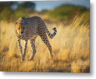 Hunting Cheetah Metal Print