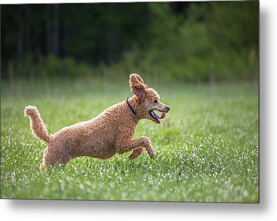 Hunting Dog Metal Print