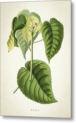 Hura Botanical Print Metal Print by Aged Pixel