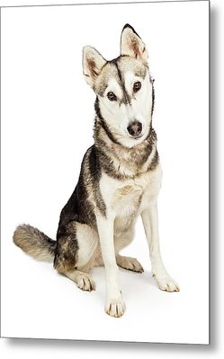 Husky Crossbreed Dog With Attentive Expression Metal Print by Susan Schmitz