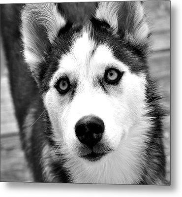 Husky Pup Metal Print