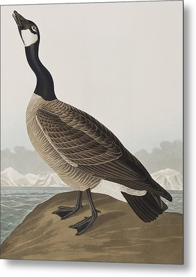 Hutchins's Barnacle Goose Metal Print by John James Audubon