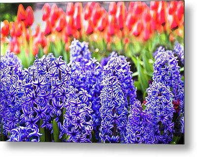 Hyacinth In Bloom Metal Print by Tamyra Ayles