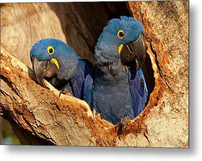 Hyacinth Macaw Pair In Nest Metal Print