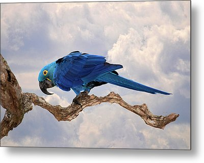 Metal Print featuring the photograph Hyacinth Macaw by Wade Aiken