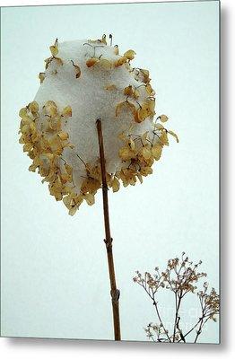 Hydrangea Blossom In Snow Metal Print