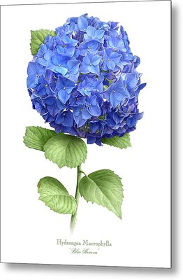 Hydrangea Blue Heaven Metal Print by Artellus Artworks