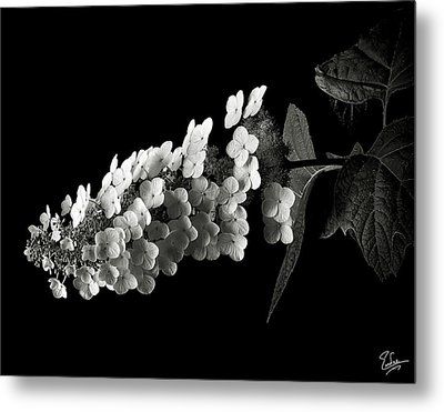 Hydrangea In Black And White Metal Print by Endre Balogh
