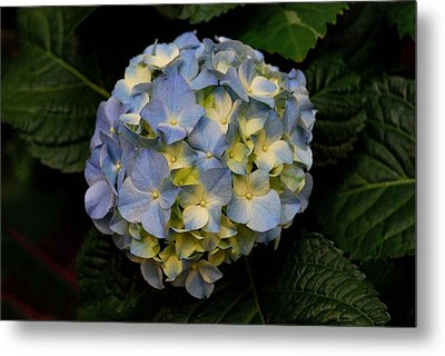 Metal Print featuring the photograph Hydrangea by Marilynne Bull