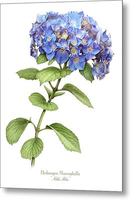 Hydrangea Nikko Blue Metal Print by Artellus Artworks