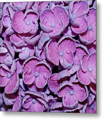 Hydrangea Petals Metal Print by Robert Shard