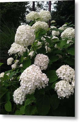 Metal Print featuring the photograph Hydrangeas by Ferrel Cordle