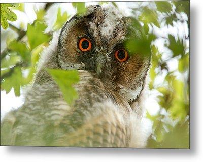 Hypnoteyes - Long-eared Owl Metal Print