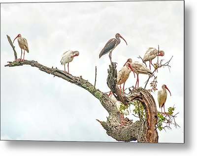Ibis Gathering Metal Print by Donnie Smith