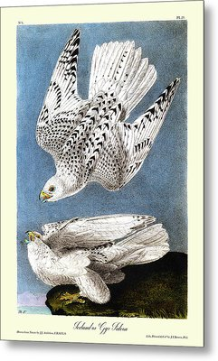 Iceland Or Gyr Falcon Audubon Birds Of America 1st Edition 1840 Royal Octavo Plate 19 Metal Print by Orchard Arts
