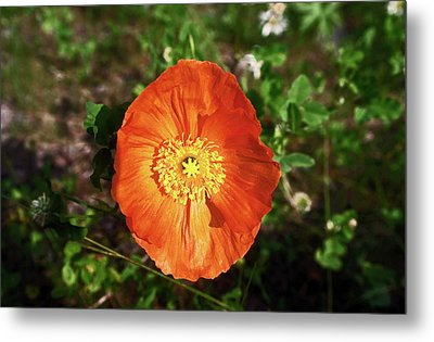 Metal Print featuring the photograph Iceland Poppy by Sally Weigand