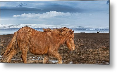 Icelandic Horse With Winter Fur, Iceland Metal Print by Panoramic Images