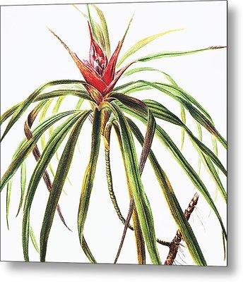 Ieie Plant Metal Print by Hawaiian Legacy Archive - Printscapes