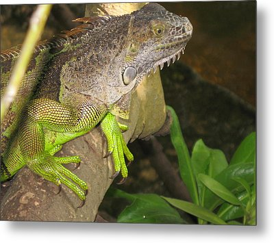 Iguana - A Special Garden Guest Metal Print by Christiane Schulze Art And Photography